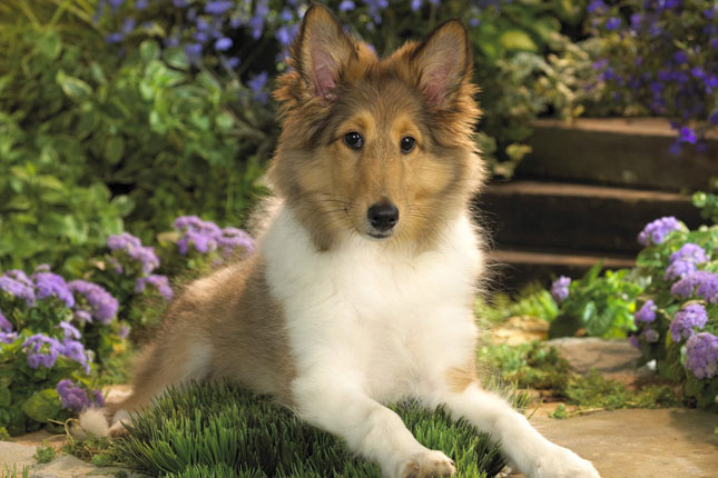 Sheepdog   Sheltie Puppies for Sale from Reputable Dog Breeders 645x430