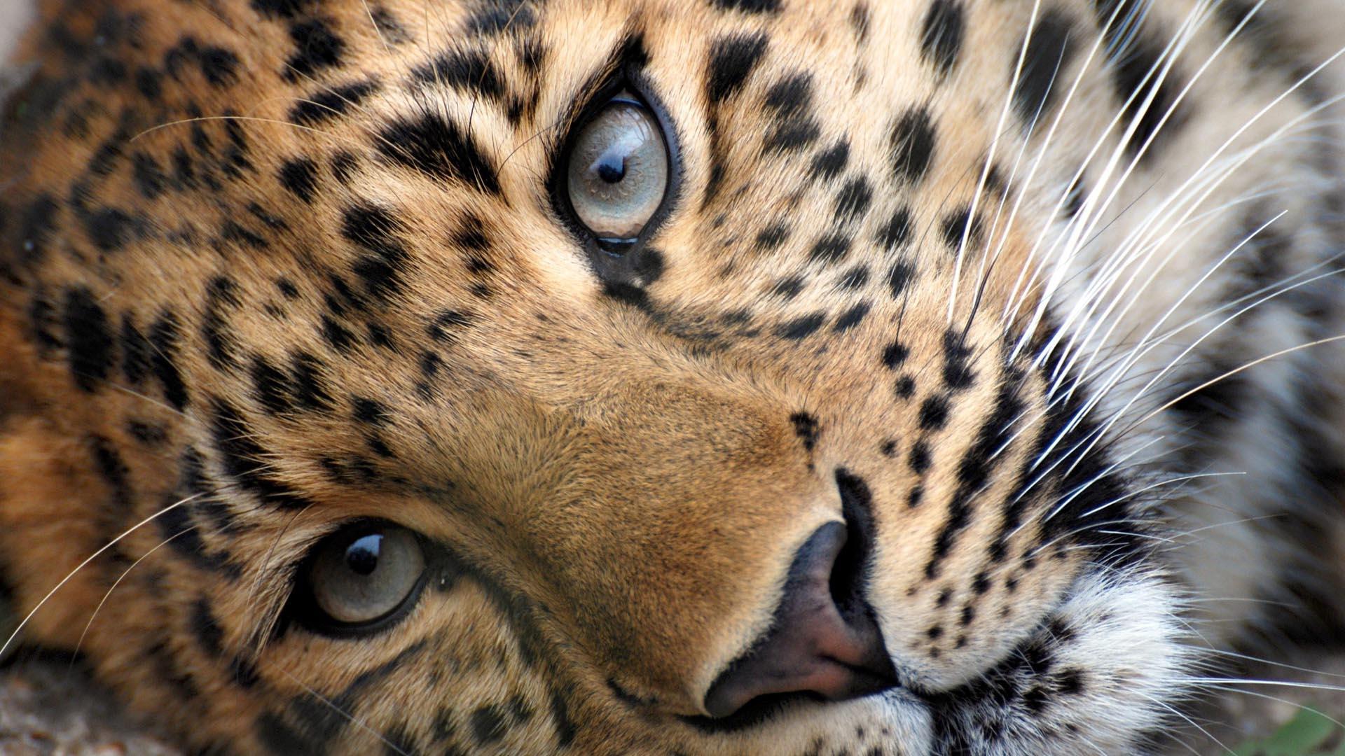 Leopard HD Wallpaper FullHDWpp   Full HD Wallpapers 1920x1080 1920x1080
