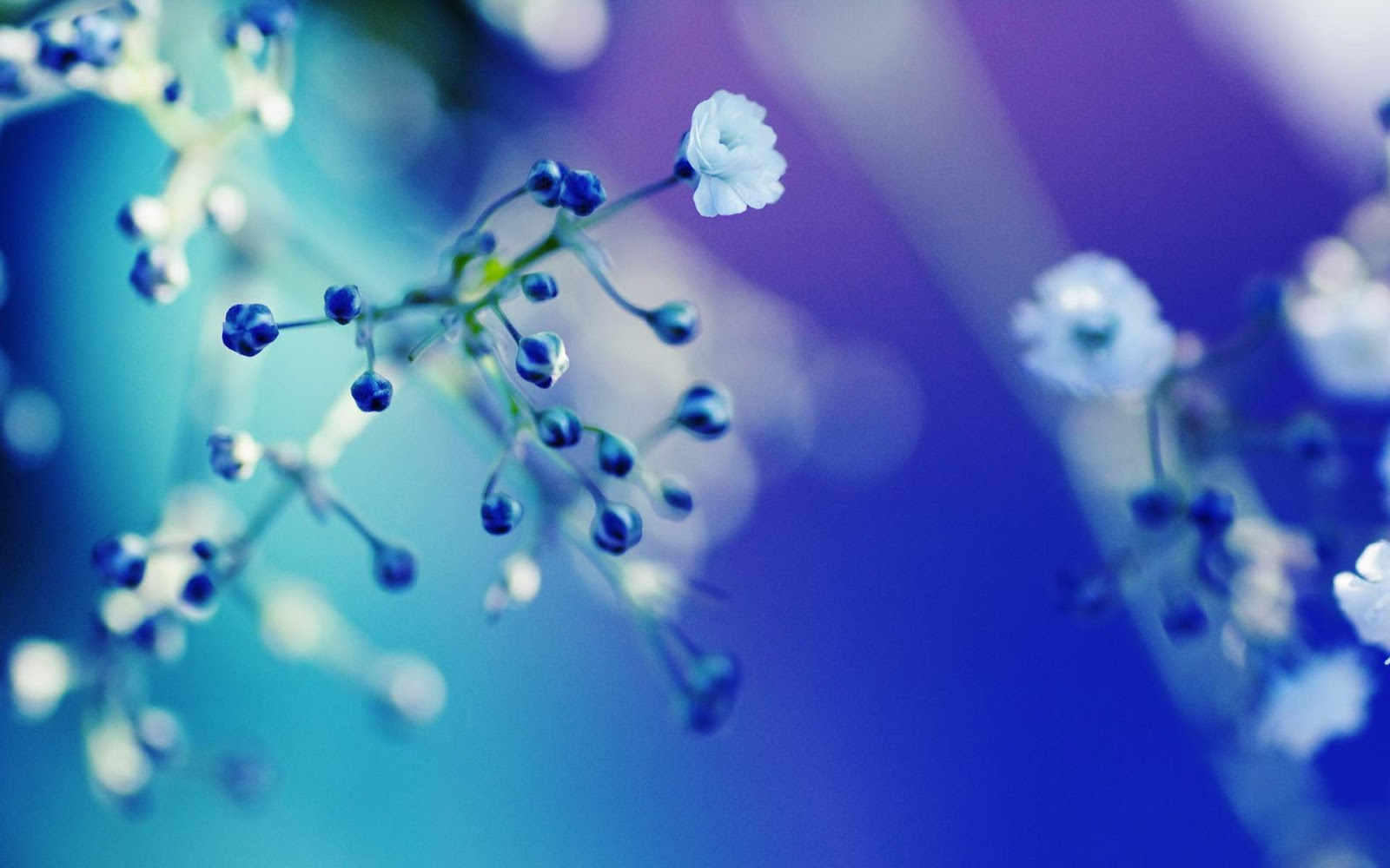 Free Download Blue White Flower Close Up Wallpaper Hd High