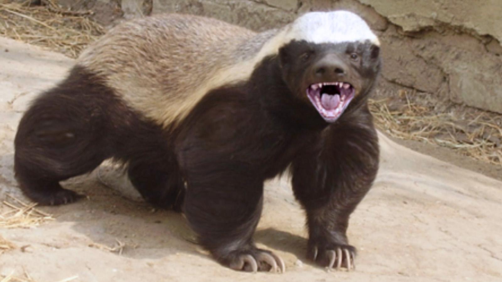 badgers wallpaper