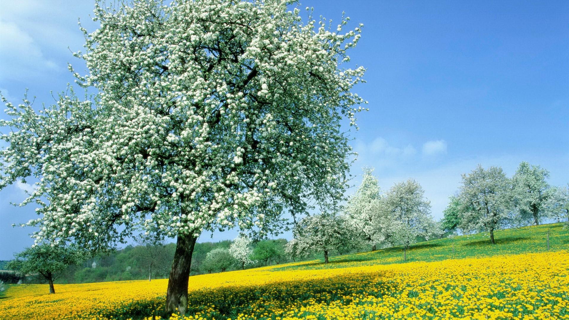 beautiful spring trees wallpaper - photo #20