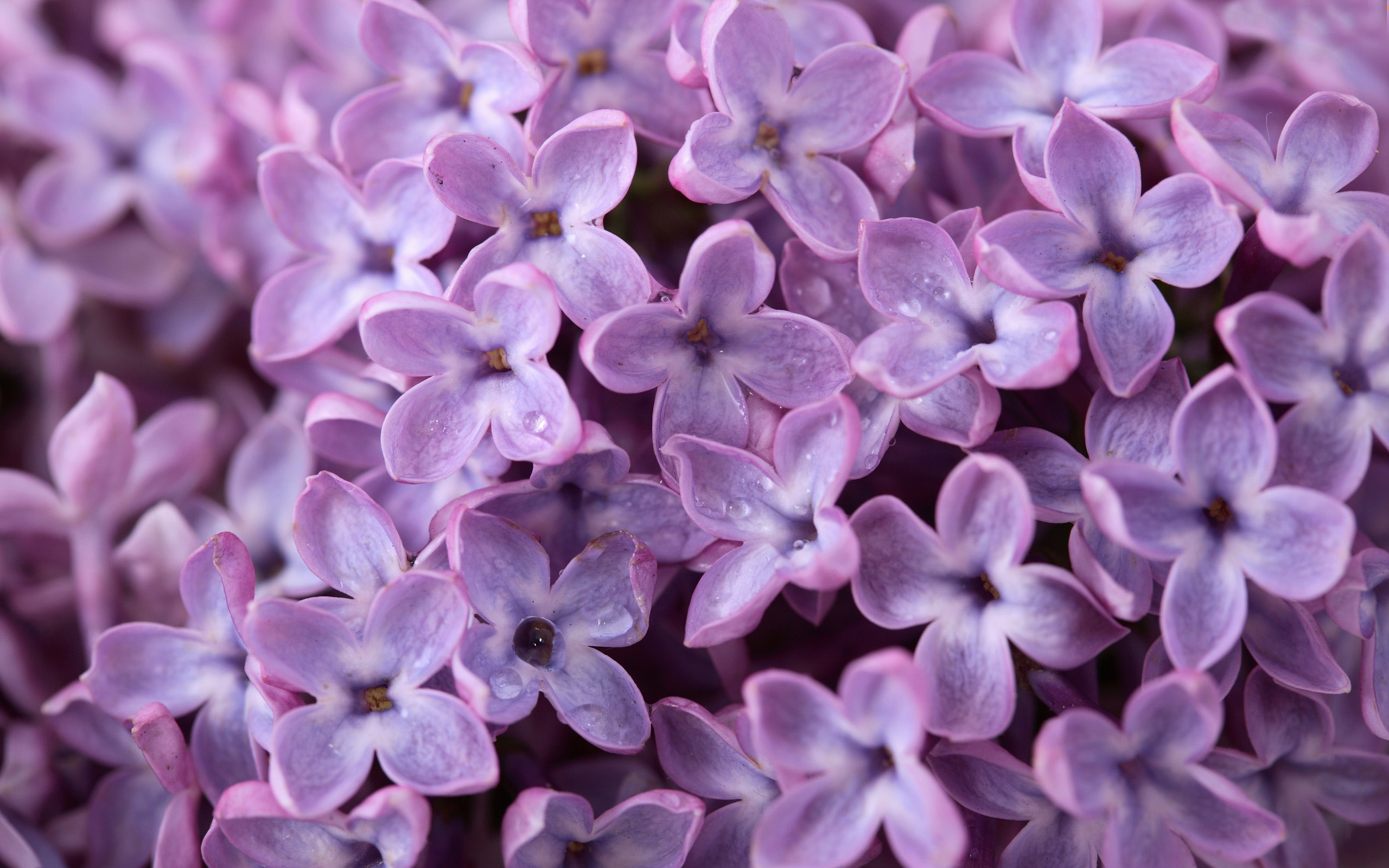 Lilac Wallpapers Desktop Wallpapers 2560x1600