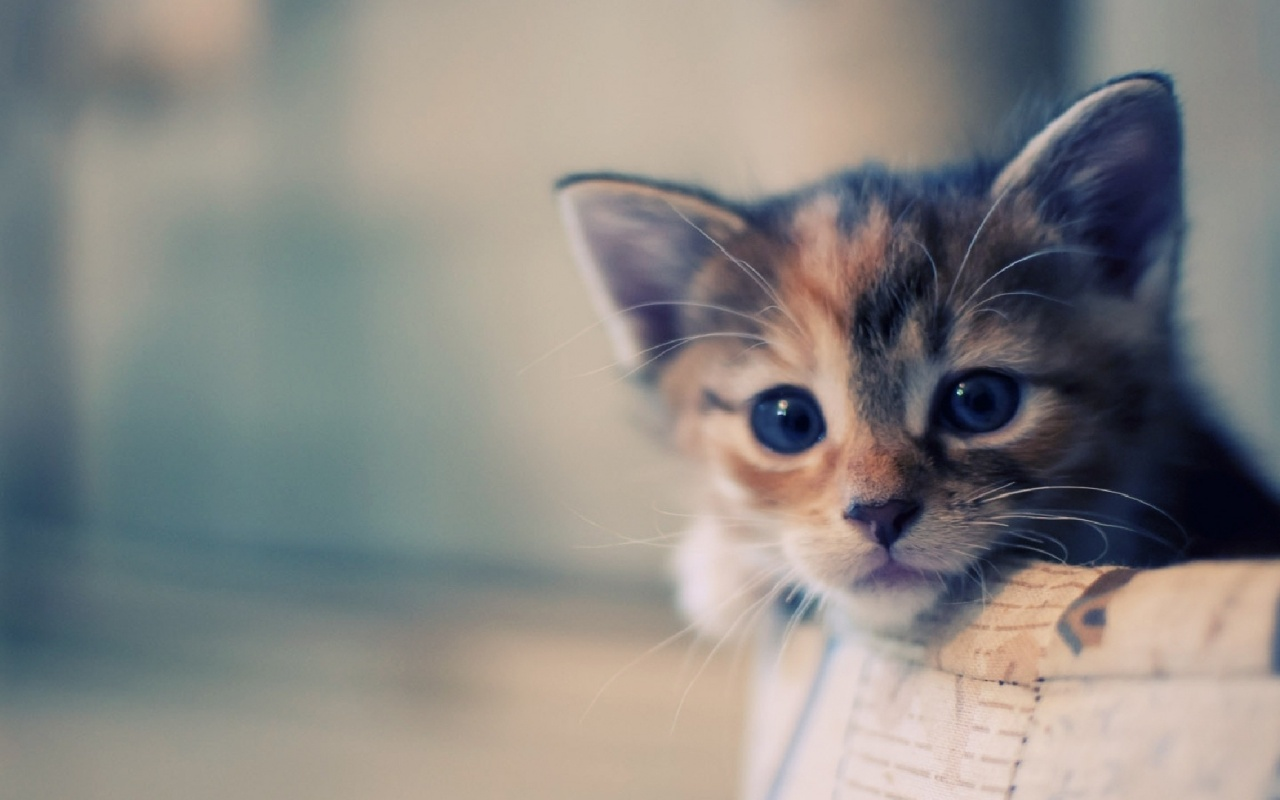 Beautiful Cat Wallpapers HD Pictures One HD Wallpaper 1280x800