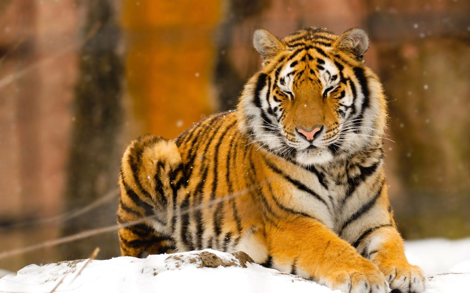 Siberian tiger wallpaper 9929 1920x1200