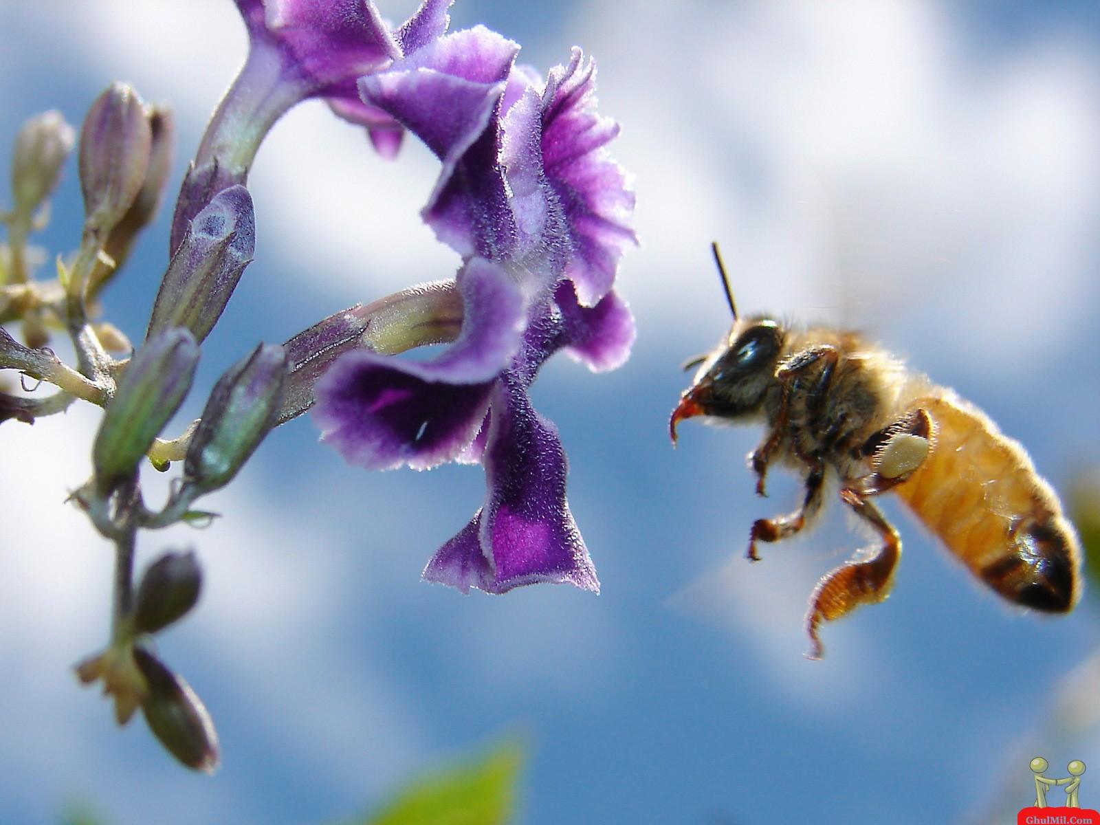 Beautiful Honey Bee HD Wallpaper HD Wallpapers Download 1600x1200