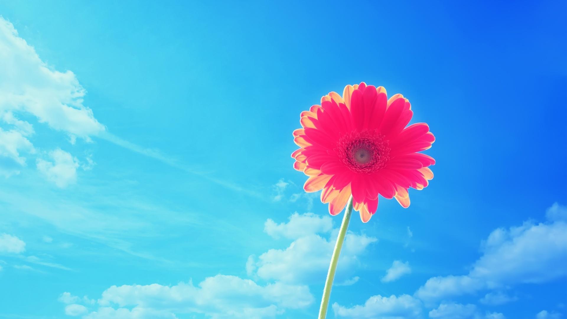 Pink Gerbera Flower Wallpapers HD 1080p HD Wallpapers 1920x1080