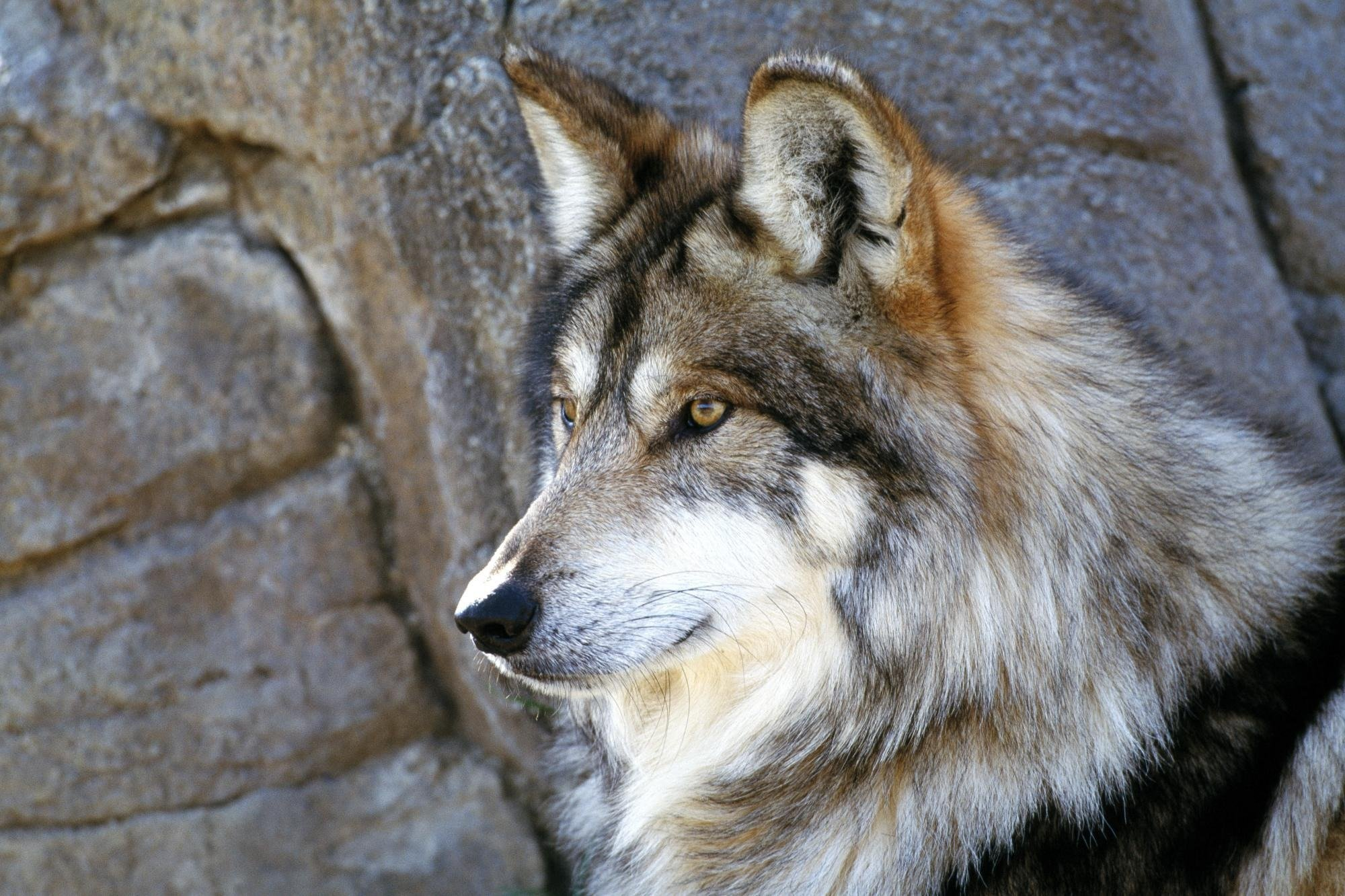 gray wolf wallpaper stones HD Wallpapers Desktop 2000x1333