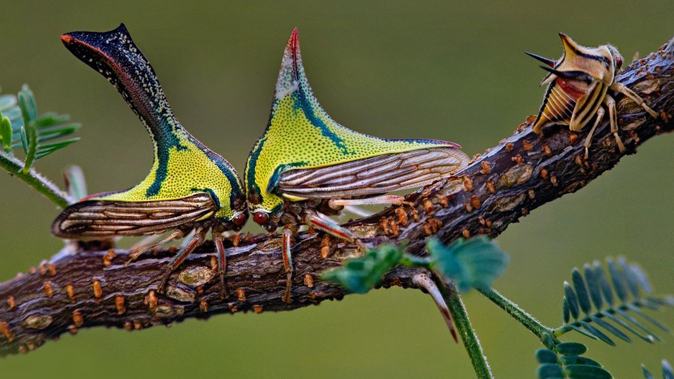 Bing Images   Thorn Bugs   Composite of a juvenile thorn bug on the 1366x768