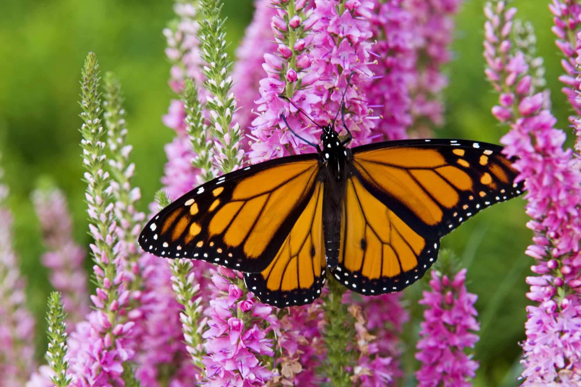 Monarch Butterfly HD Wallpaper Background Images 2000x1333