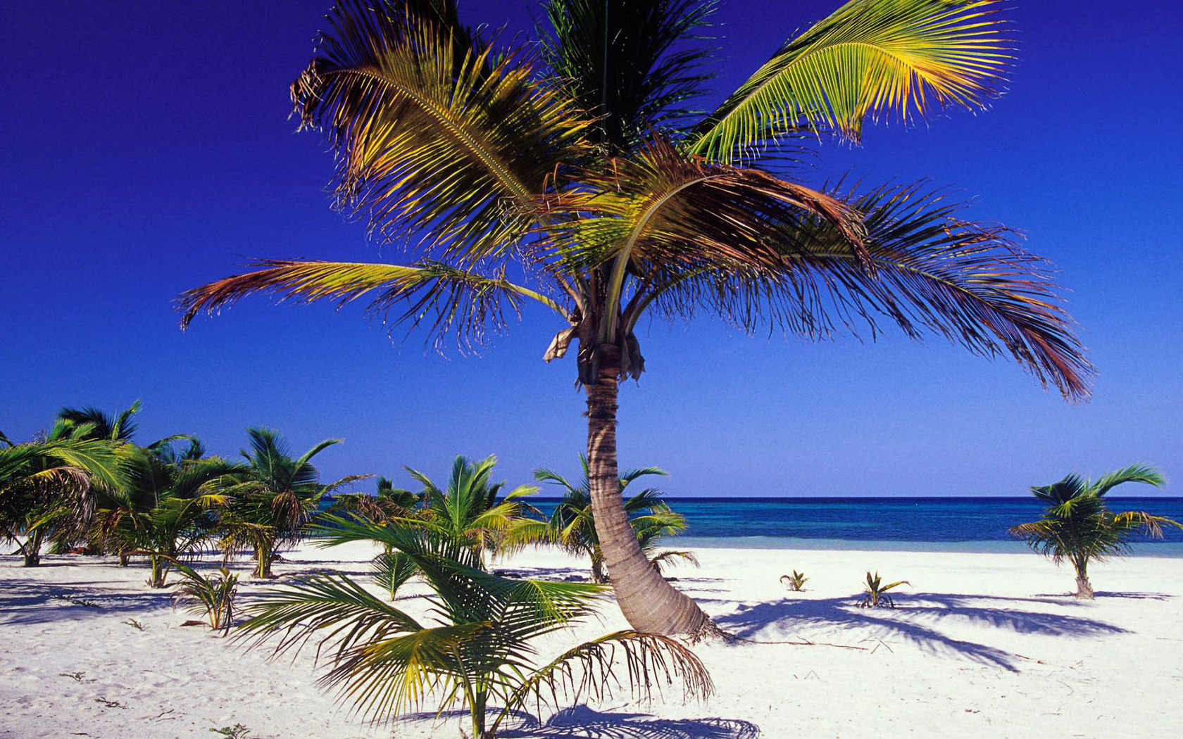 Download Palm trees on the beach wallpaper 1680x1050