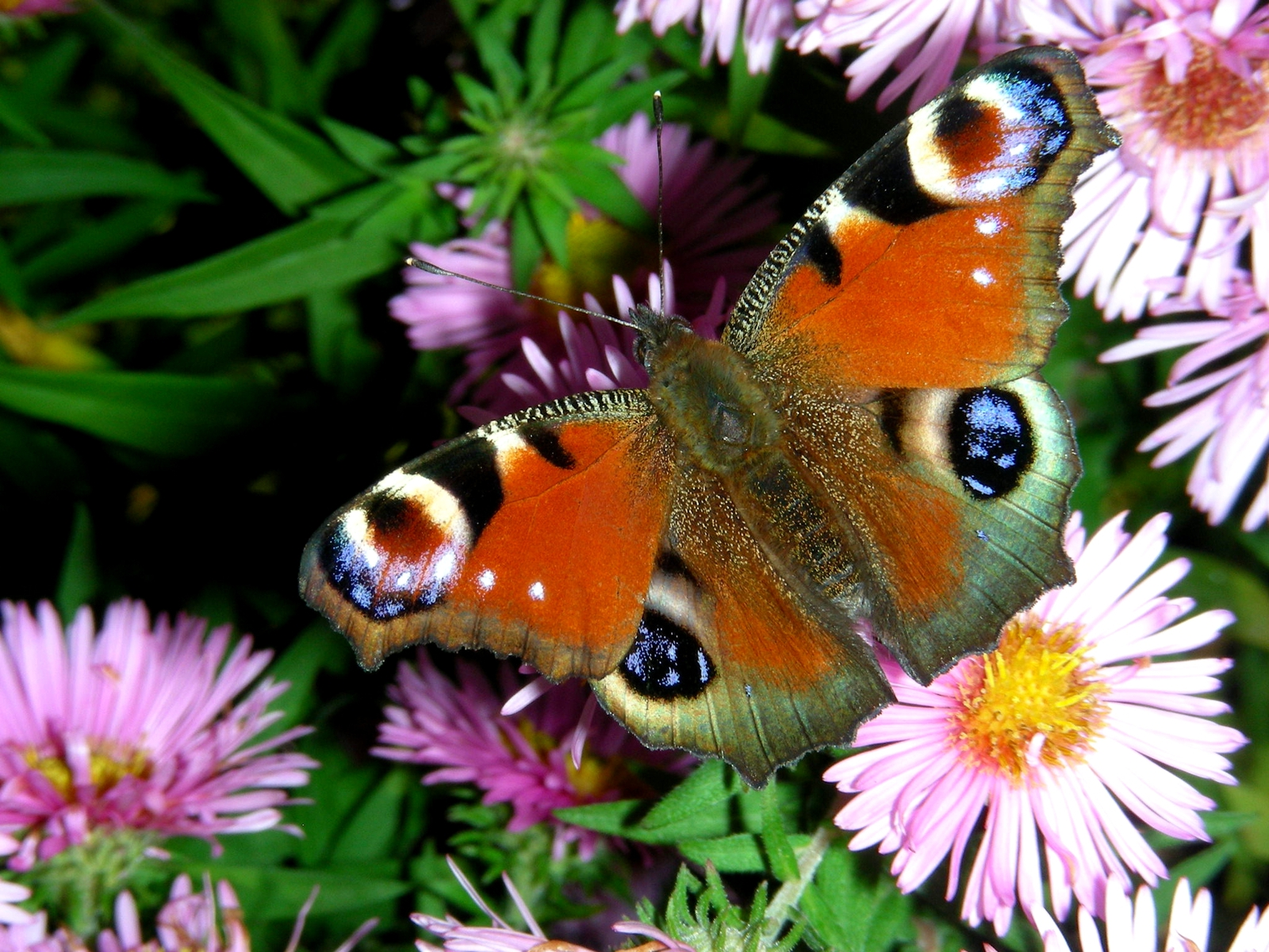 Download Nachural High Definition Colorful Butterfly Wallpaper 1600x1200