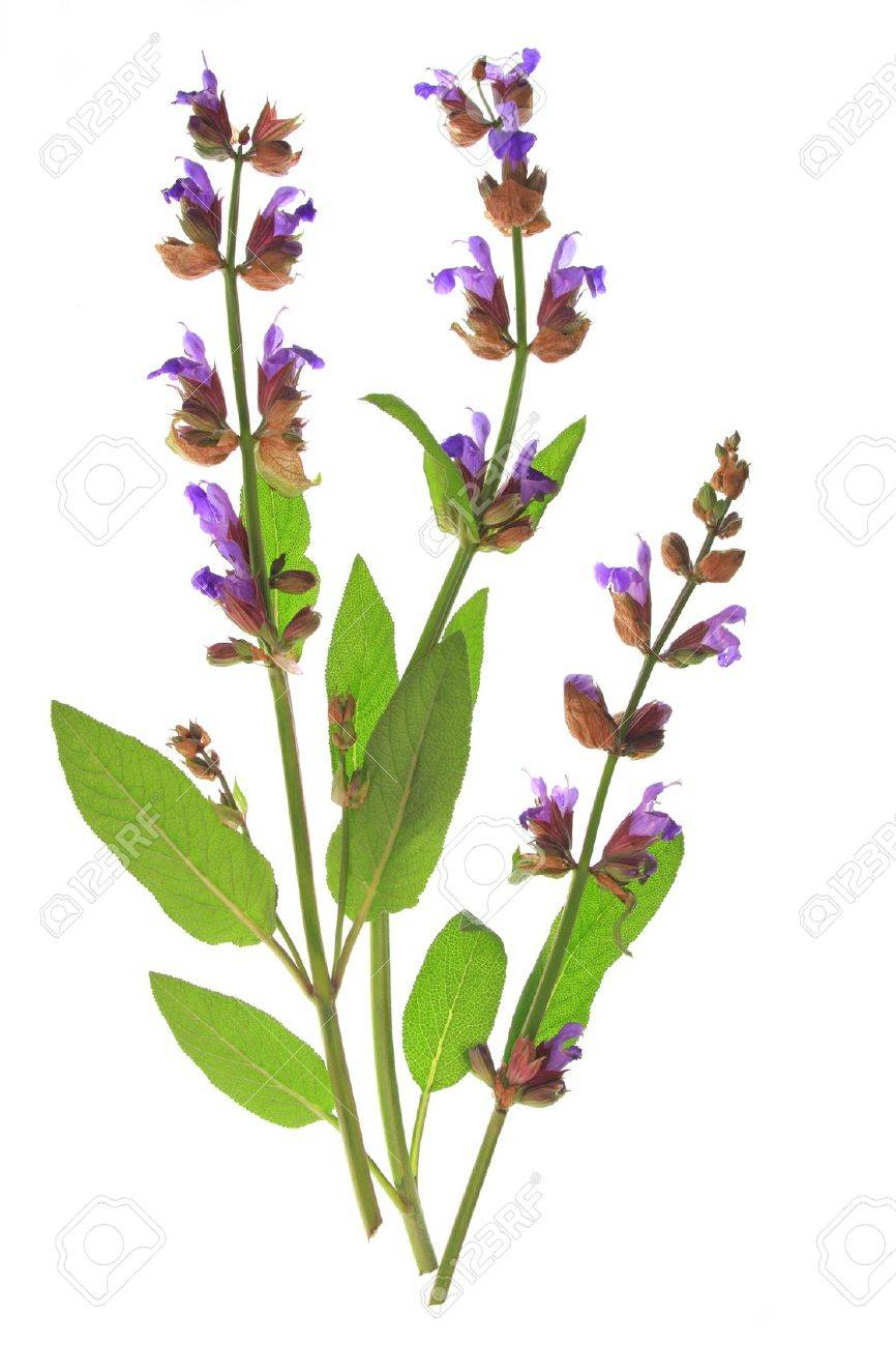 Flowering Sage Salvia Officinalis Isolated Before White Background 866x1300