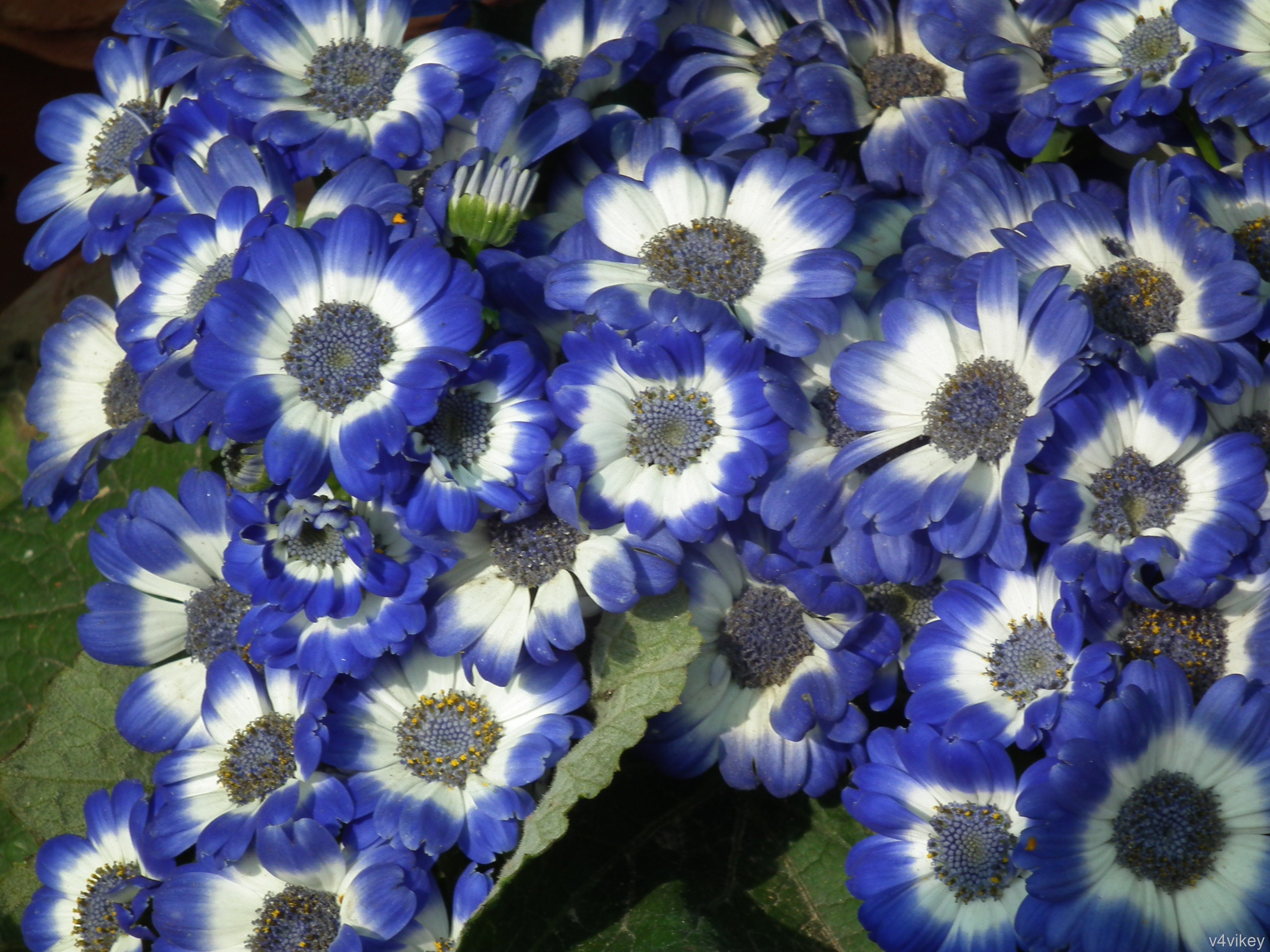 Beautiful Nature Blue White Color Cineraria Flower Images 3648x2736