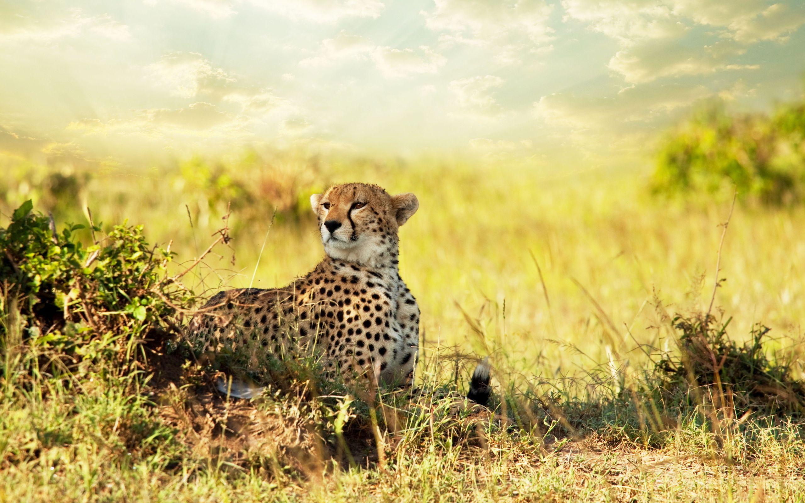 Cheetah Savanna Africa Wallpapers   HD Wallpapers