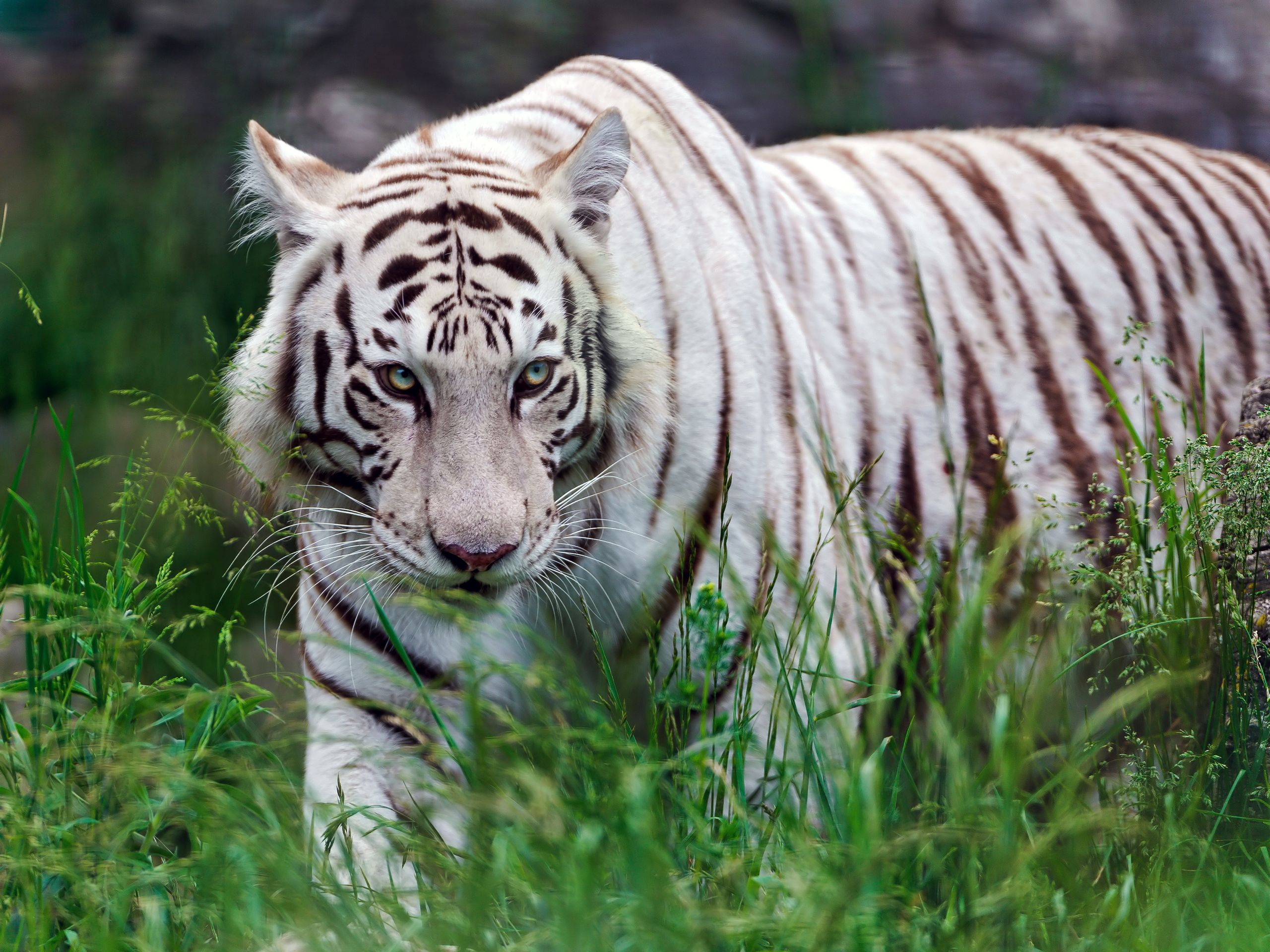 is under the tiger wallpapers category of hd wallpapers white 2560x1920