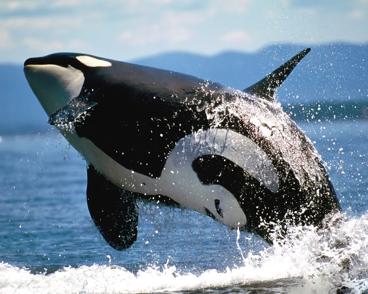 killer whales wallpaper 1280x1024