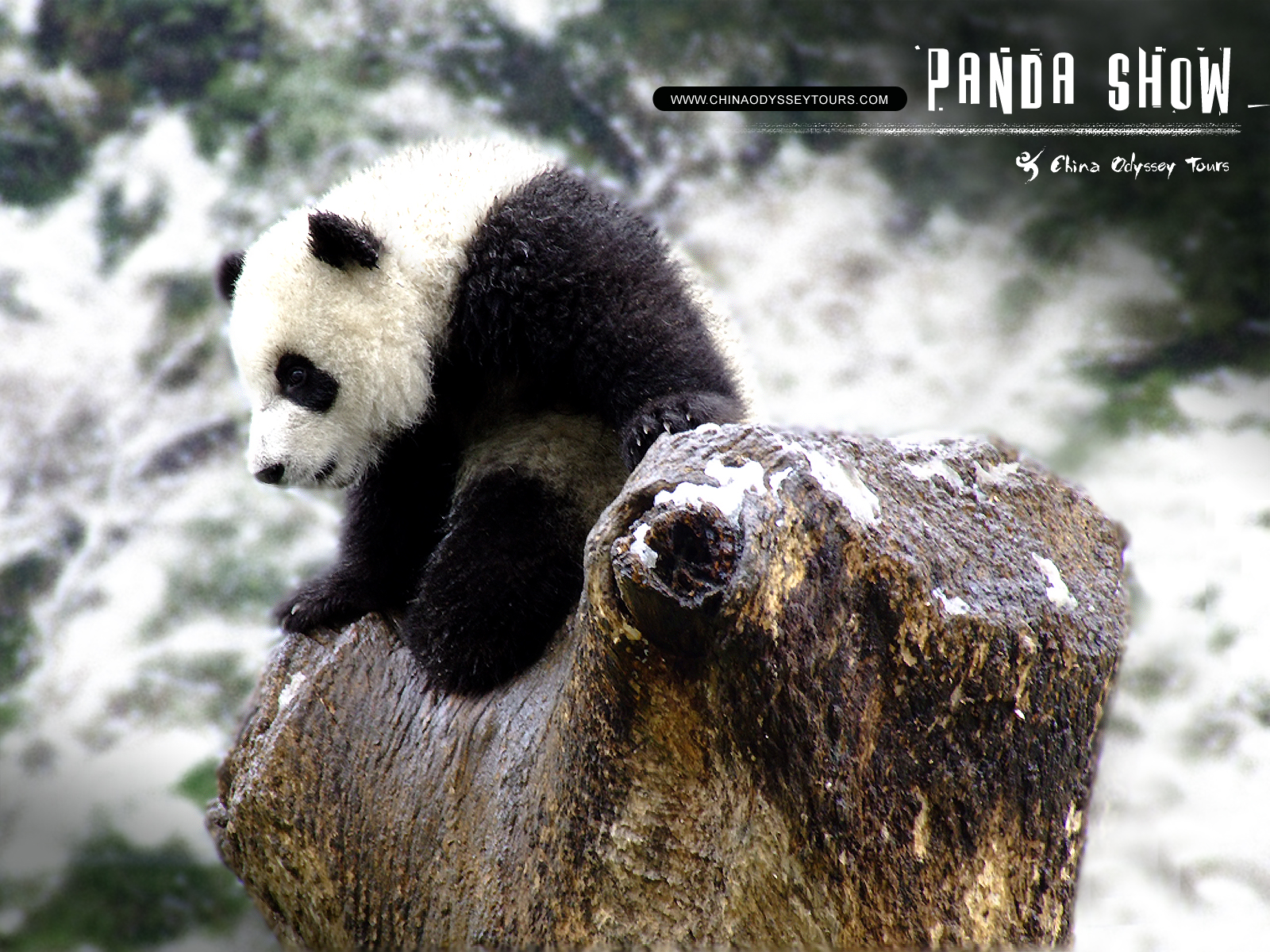 Beautiful Wallpapers panda bear wallpaper 1600x1200