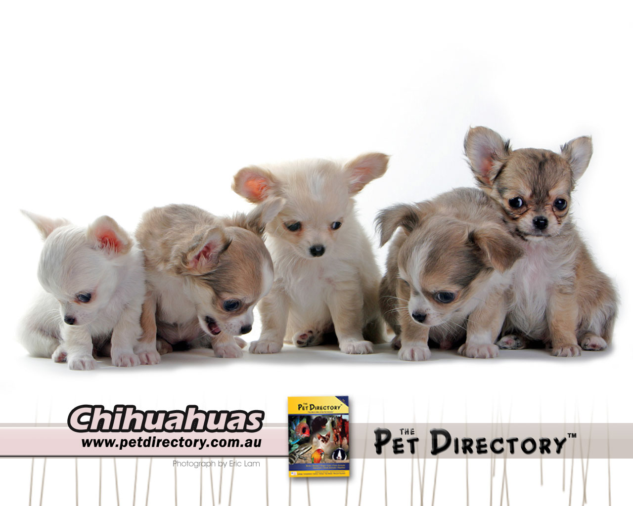 pomeranian puppies for sale in texas cheap teacup chihuahua wallpaper wallpapersafari 6028
