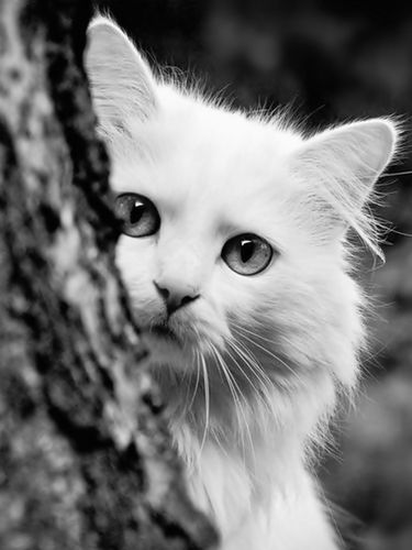 White cat behind the tree screensaver for Amazon Kindle 3 375x500