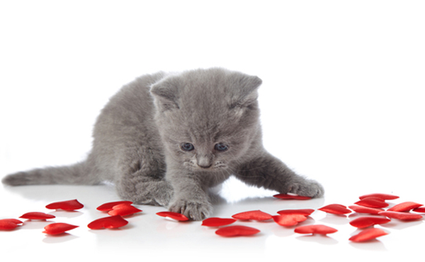 Caturday with these Valentines Day Kittens   Cats vs Cancer 600x370