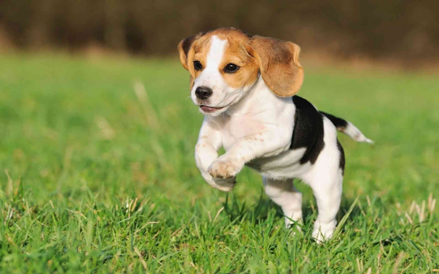 Images And Beautiful Beagle Puppy Jumping Wallpapers Beagle Puppy 1440x900