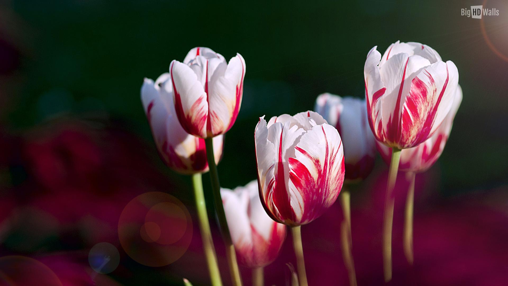 [72+] Tulip Flowers Wallpapers On WallpaperSafari