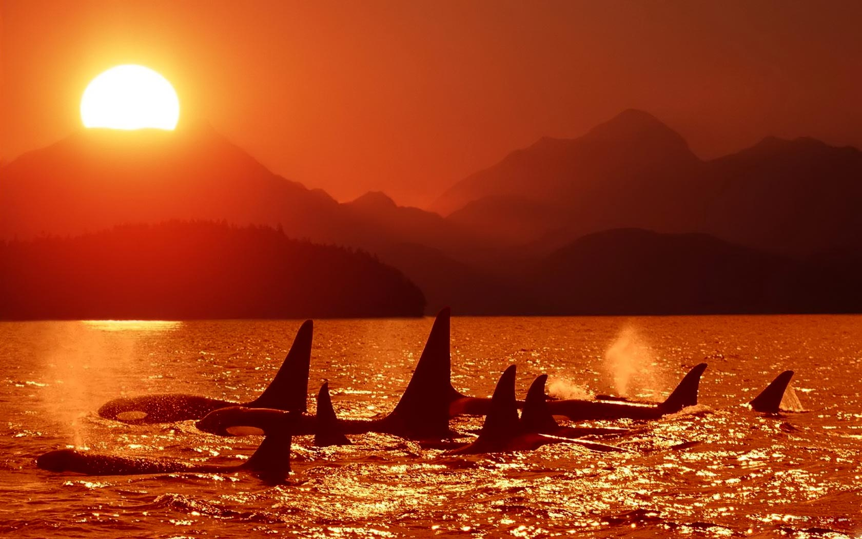 orca whales 1680x1050