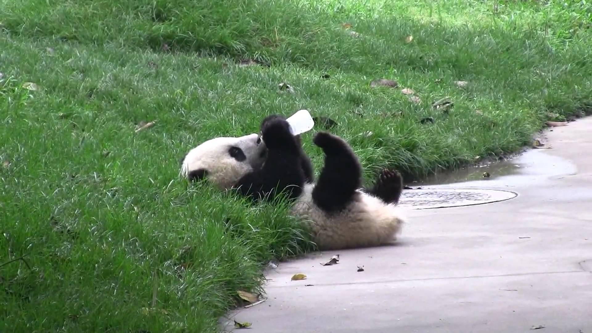 Panda pandas baer bears baby cute 12 wallpaper 1920x1080 364440 1920x1080