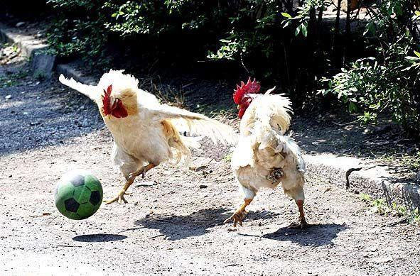 Funny chicken pictures Funny Animal 591x389