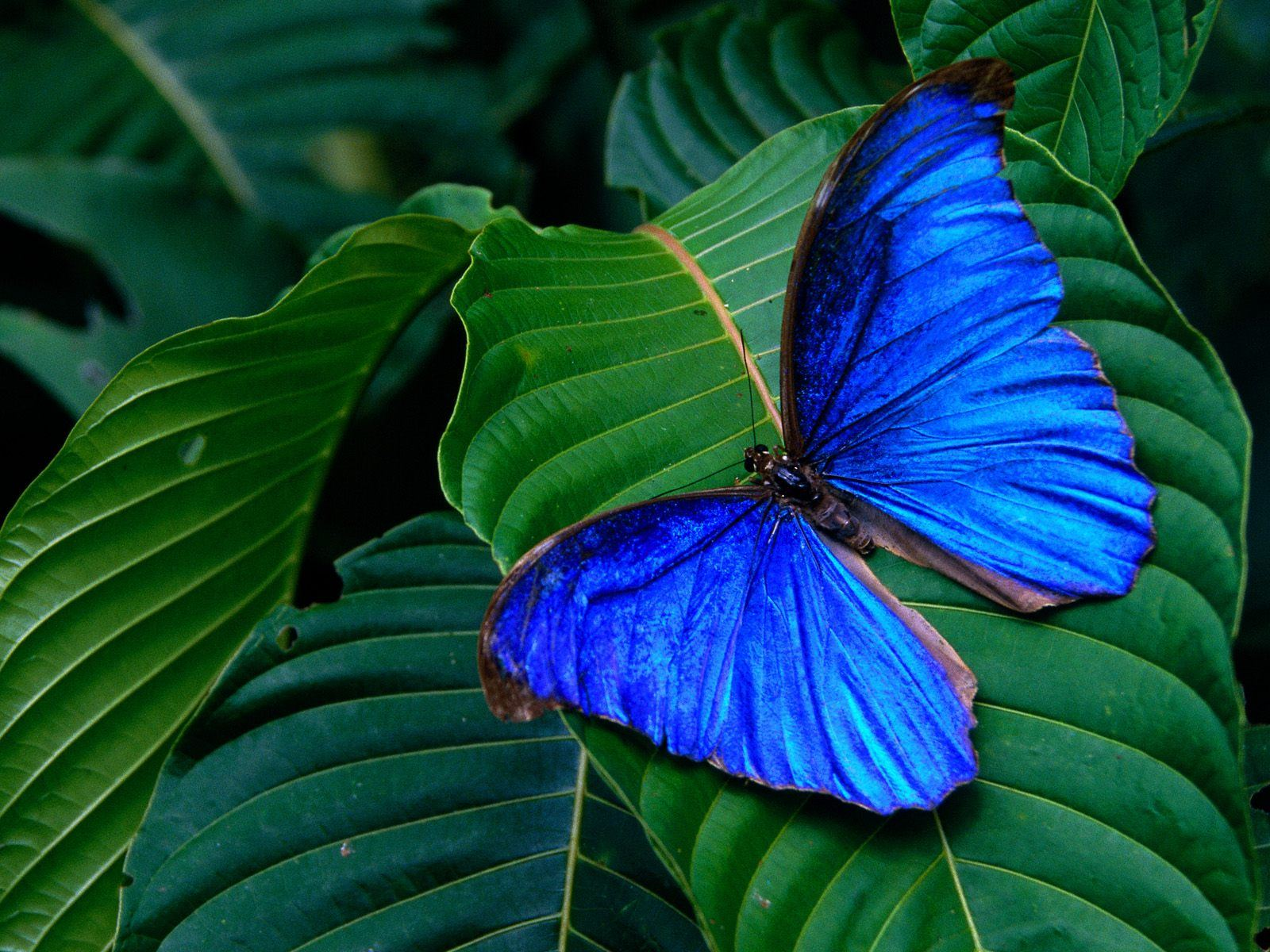 Blue butterfly wallpaper Funny Animal 1600x1200