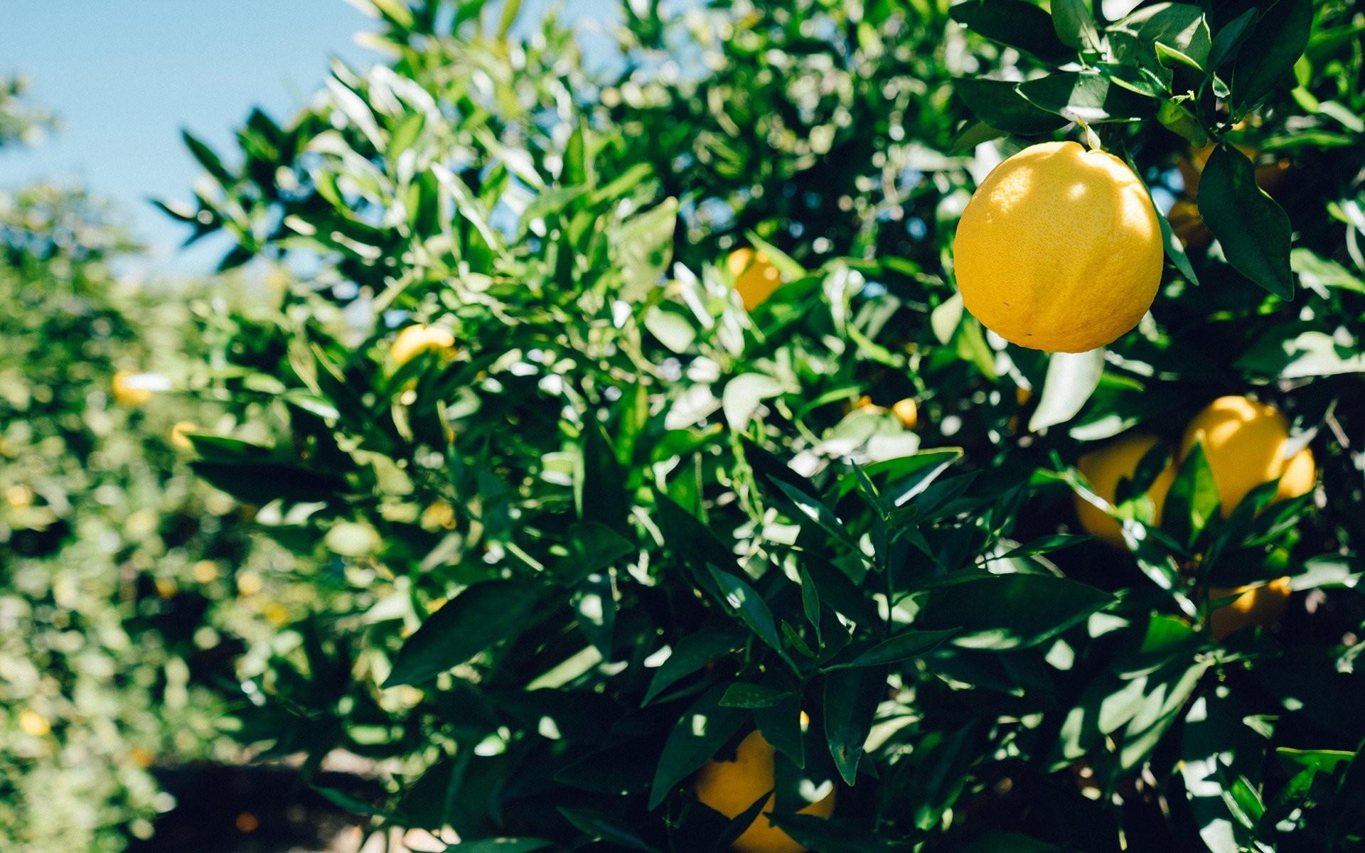 Mother Nature Pomelos Background Images Smells Frutas Healthy 1920x1200