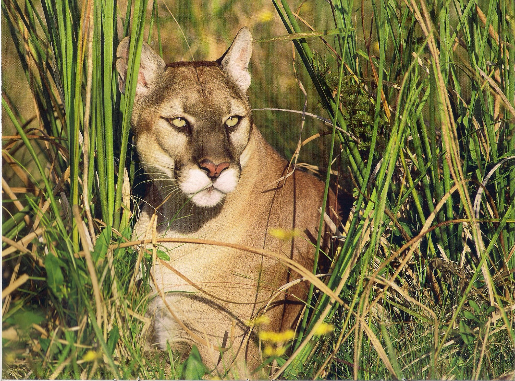 florida panther 1600x1200   DriverLayer Search Engine 2102x1557