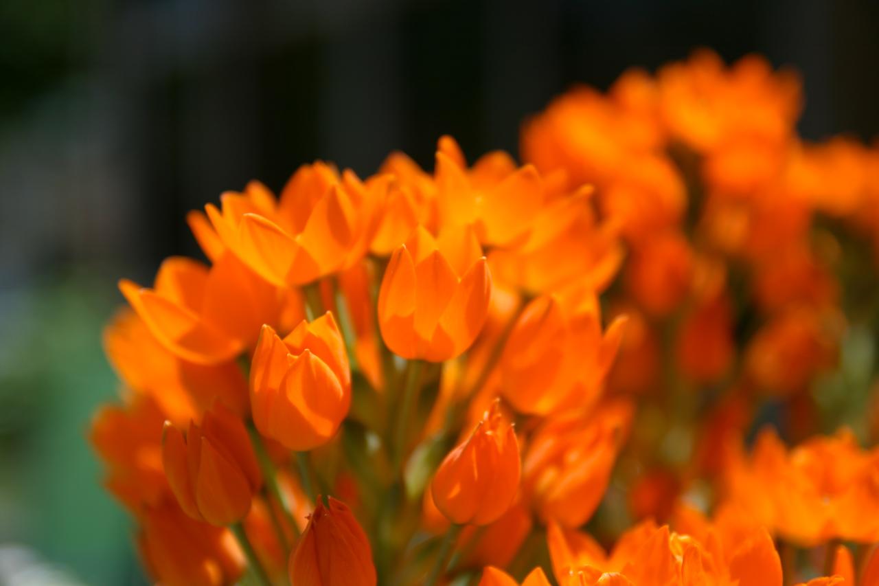 orange flowers wallpaper orange flowers wallpaper orange flowers 1280x853