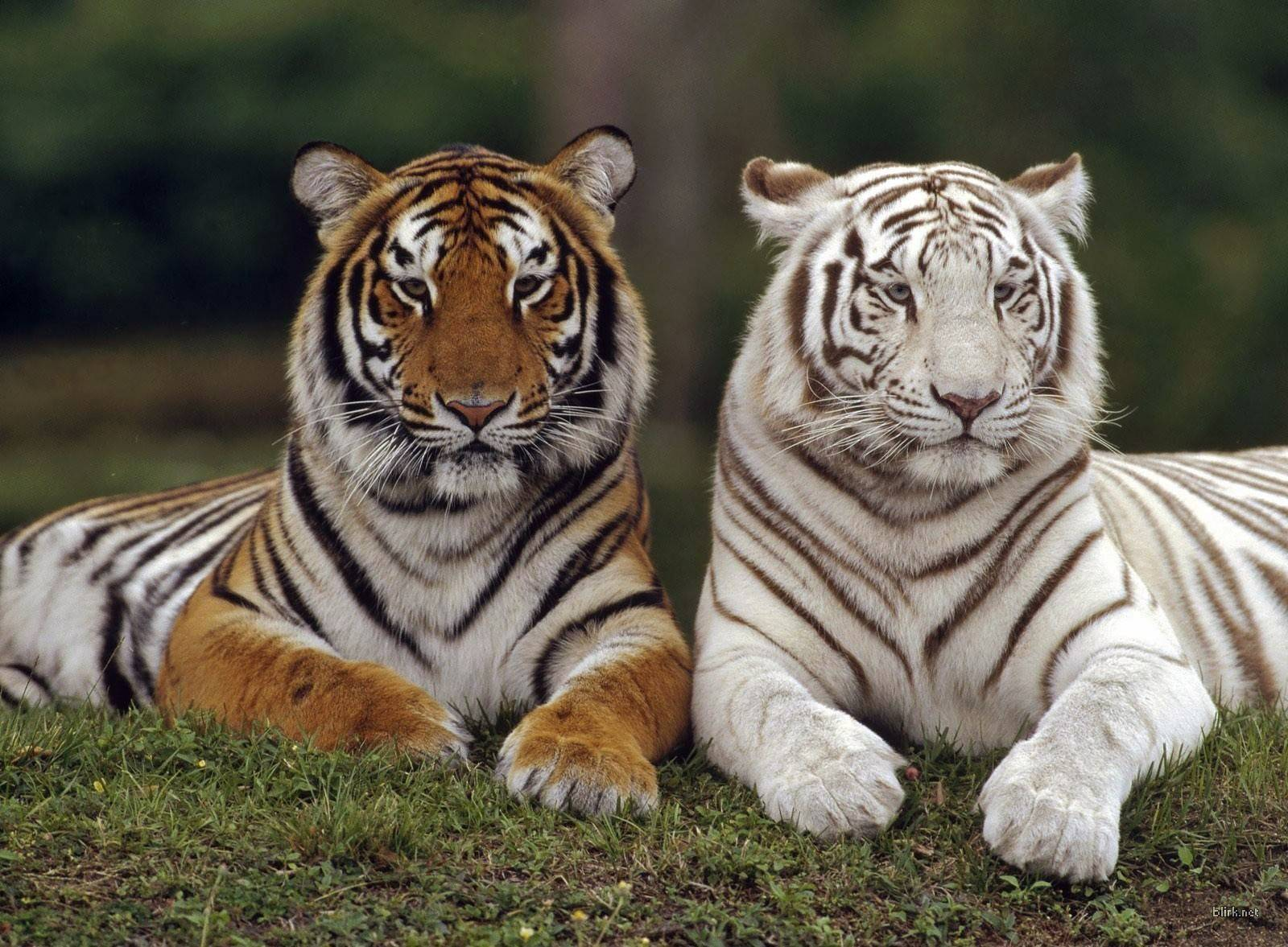 Orange White Tiger   Wallpaper   Animal Lovers Wallpaper 1600x1177