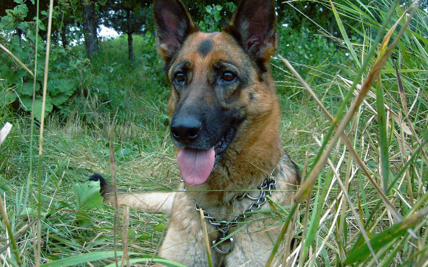 Download German Shepherd Dog Wallpaperwallpaper Dog Breeds Picture 1680x1050