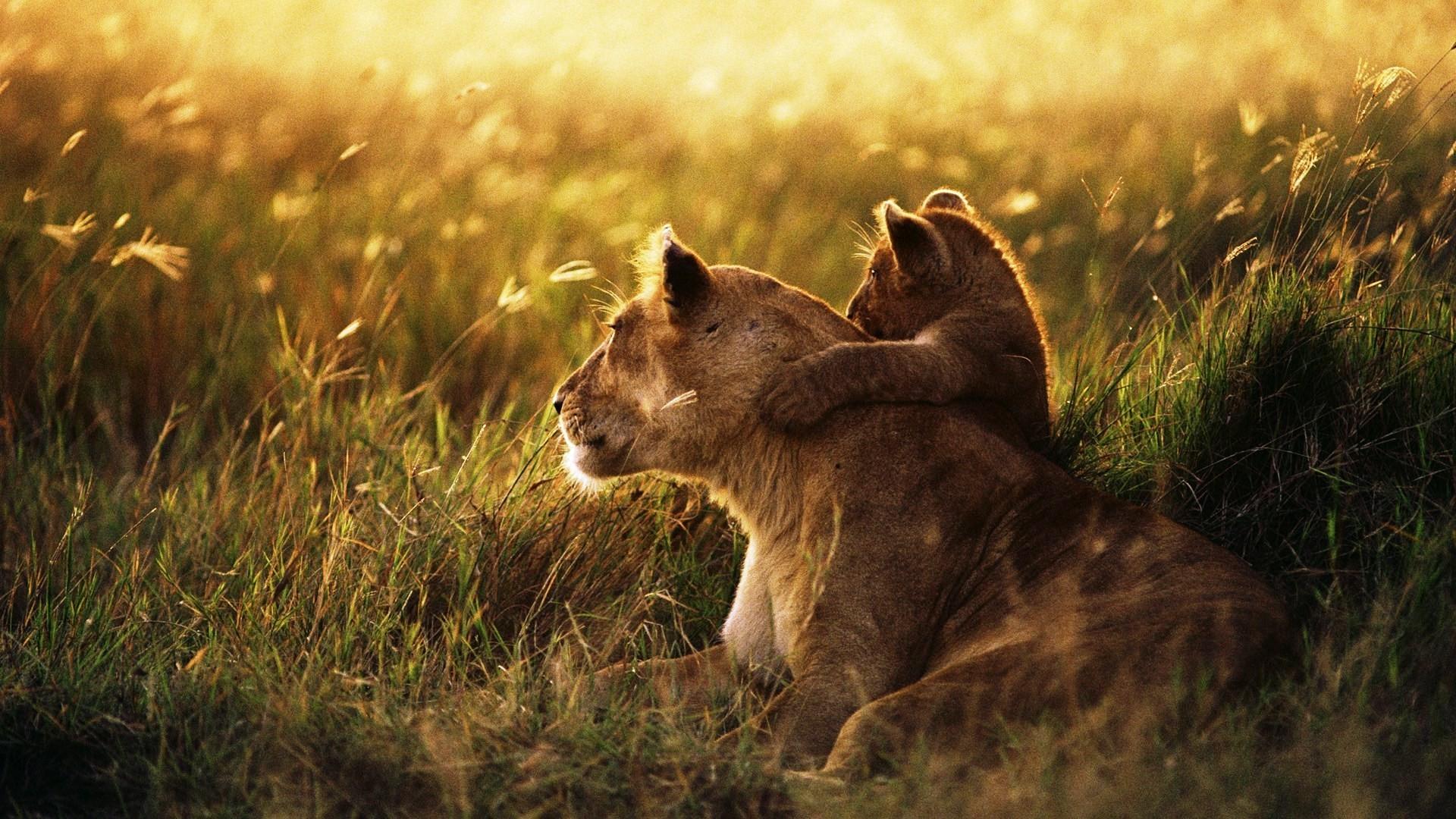 Обои на рабочий стол со львами и львятами