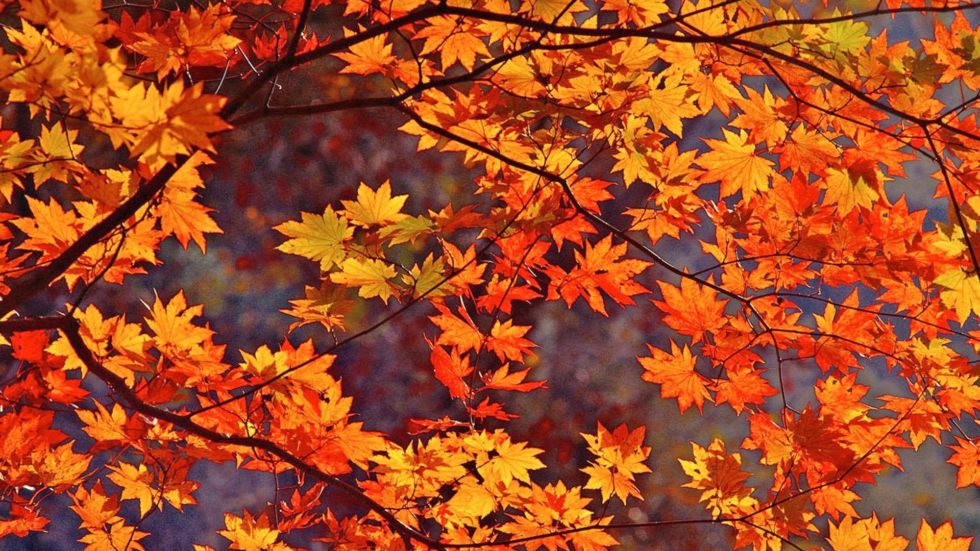 Fall Leaves HD Wallpaper 1920x1080