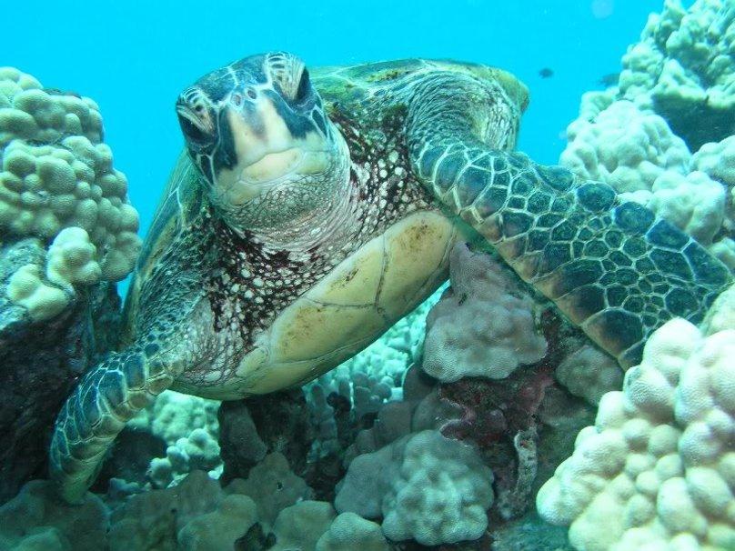 Source httpfrforwallpapercomwallpapersea turtle 415909html 808x606