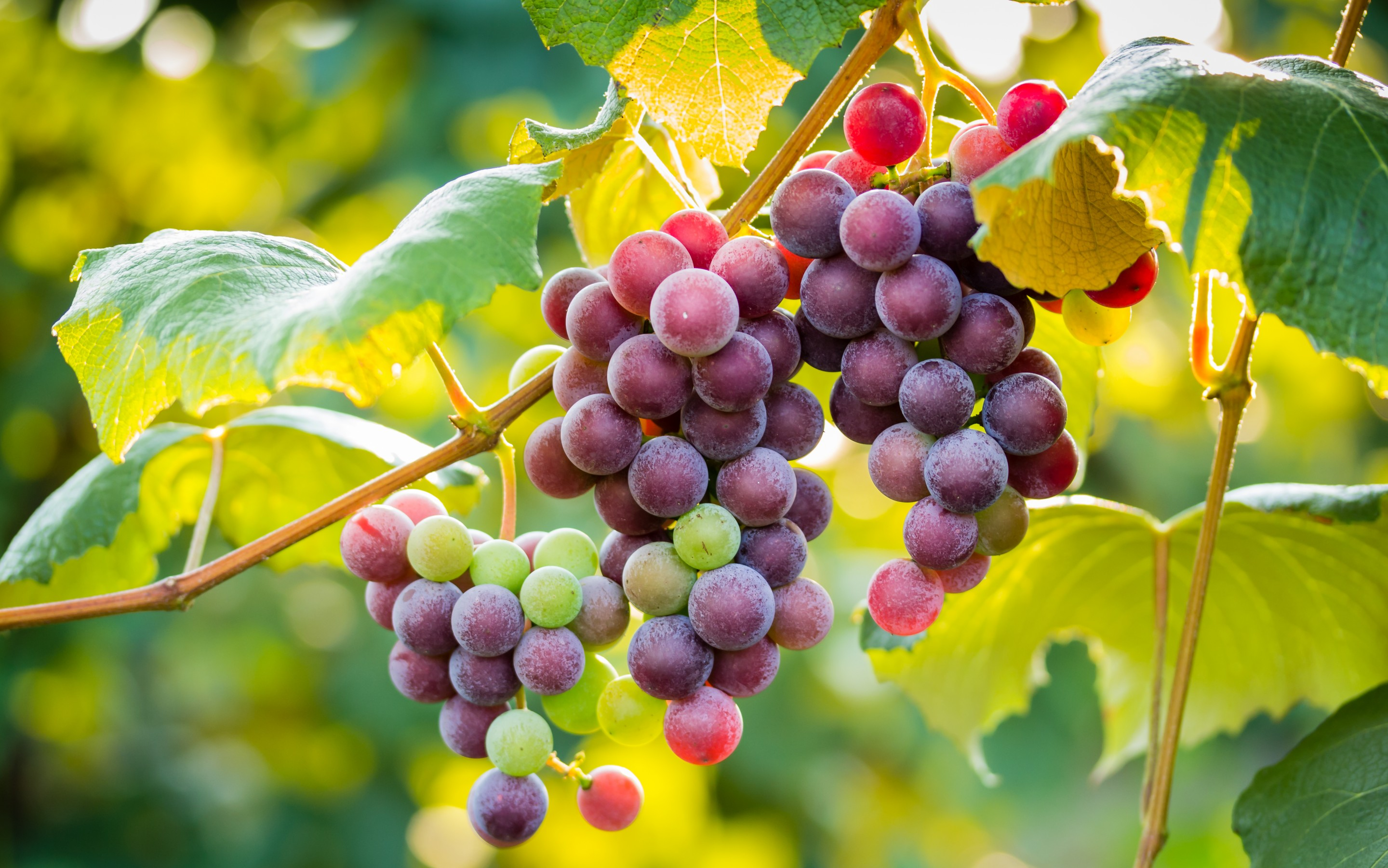 45 Best HD Walls of Grapes HDQ Grapes Wallpapers 2880x1800