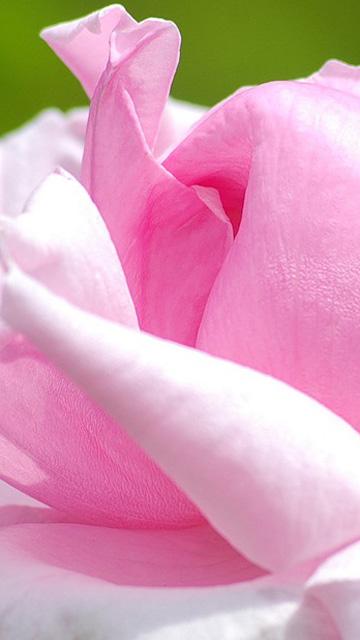 Pink phone wallpaper wallpapersafari - Samsung rose wallpaper ...
