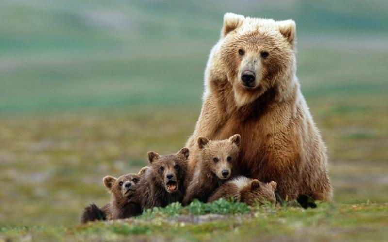 Wallpaper Mother bear and cubs   My HD Wallpapers 800x500