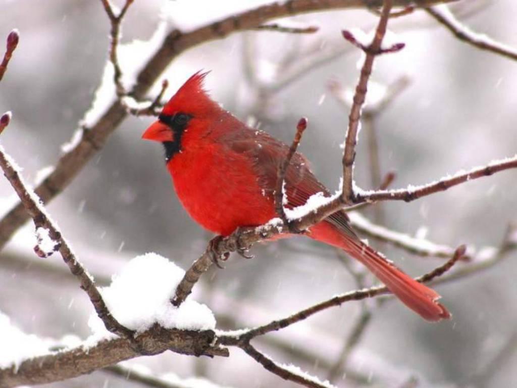 Cardinal wild birds Wild Animal and Birds 1024x768
