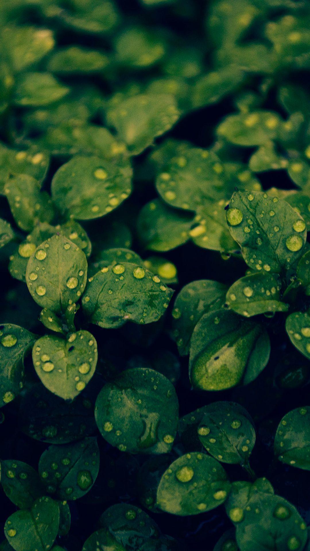 Fresh Dew Green Leafy Branch iPhone 6 plus wallpaper iPhone 1080x1920
