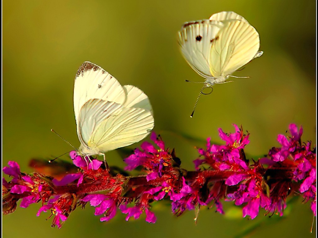 Free Download Butterfly And Flowers Wallpaper Wallpaper Wide