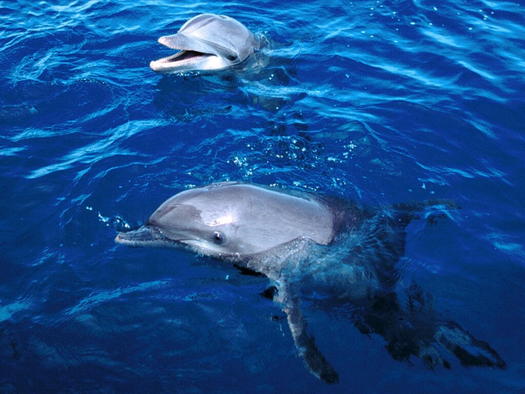 Dolphin Wallpapers Images and animals Dolphin pictures 662 1024x768