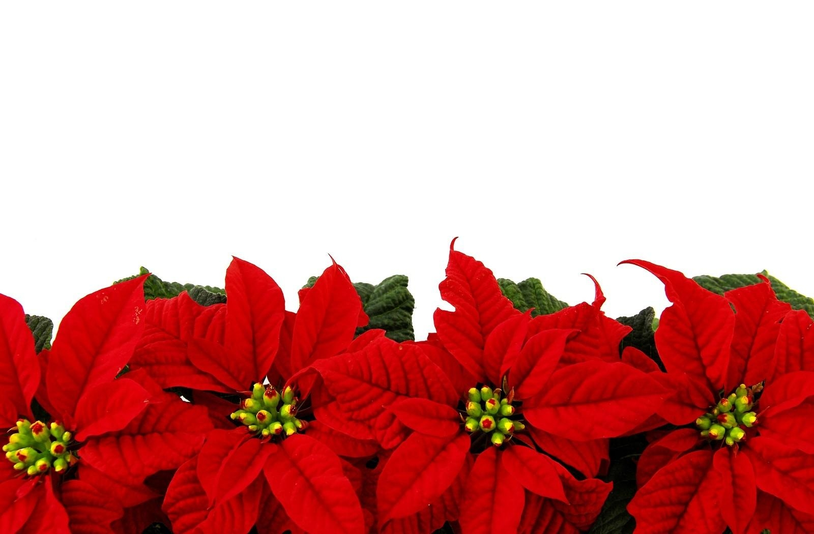 Poinsettia Flower Bright Row White Background   Stock Photos 1600x1050