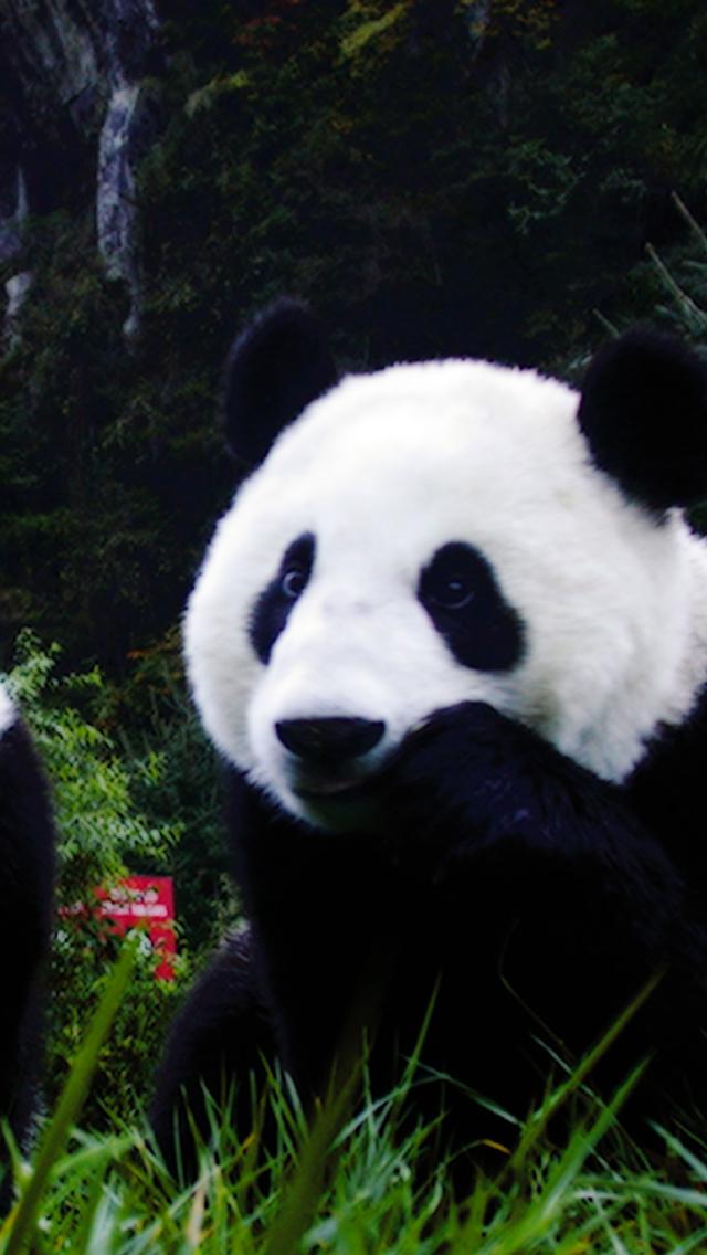 Animal Panda 3Wallpapers iPhone Les 3 Wallpapers iPhone du jour 2208 640x1136