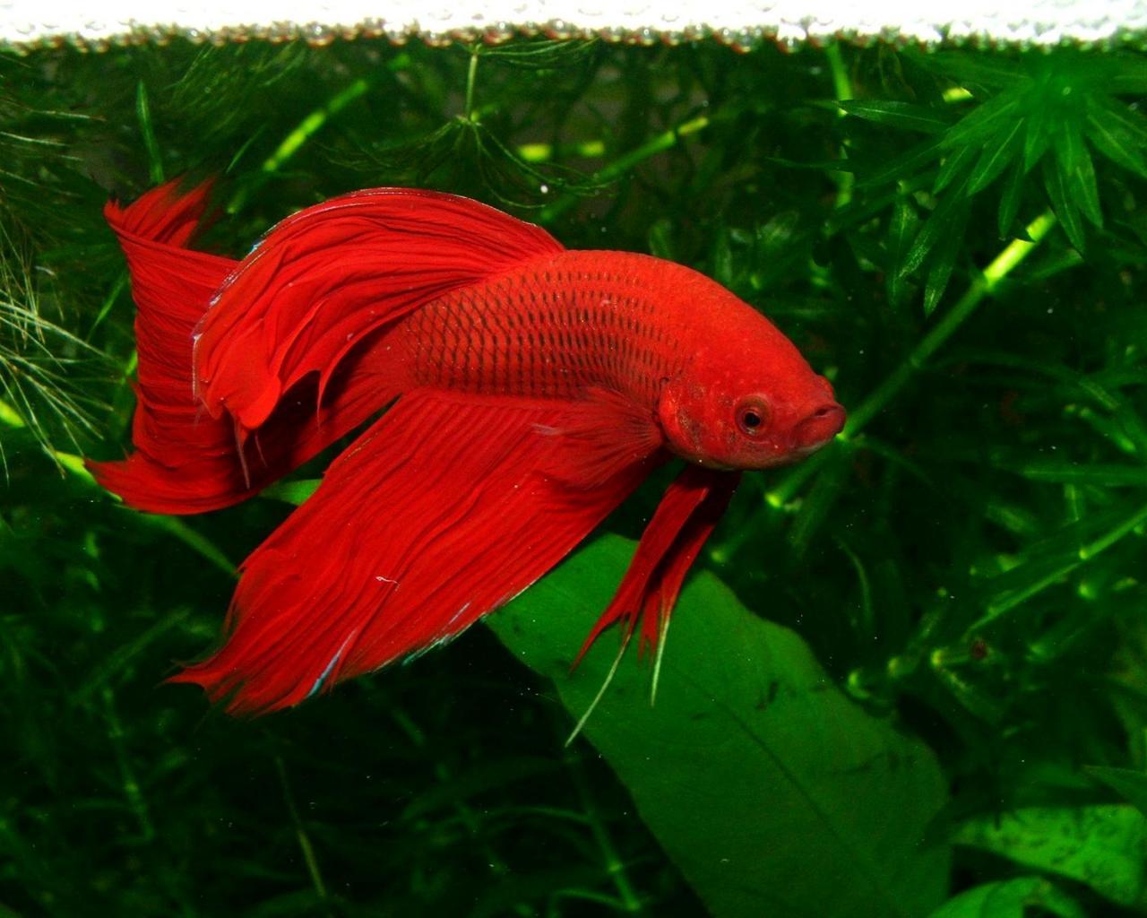 RED BETA FISH WALLPAPER   5618   HD Wallpapers   [WallpapersInHQ 1280x1024