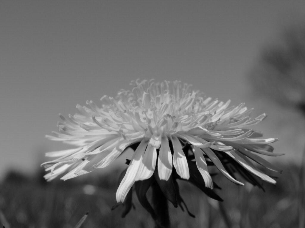 Black and White Dandelion 1024x768