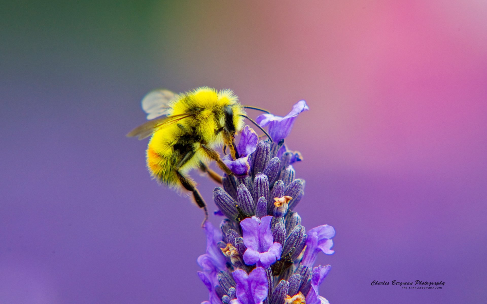 Honey Bee Lavendar Nectar Wallpapers HD Wallpapers 1920x1200